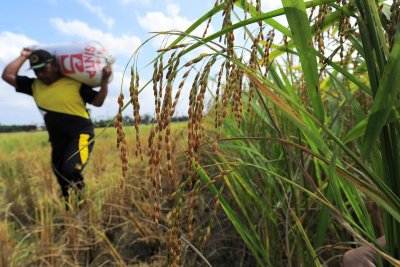 Efektivitas Bantuan Presiden Bagi UMKM Agrikultur