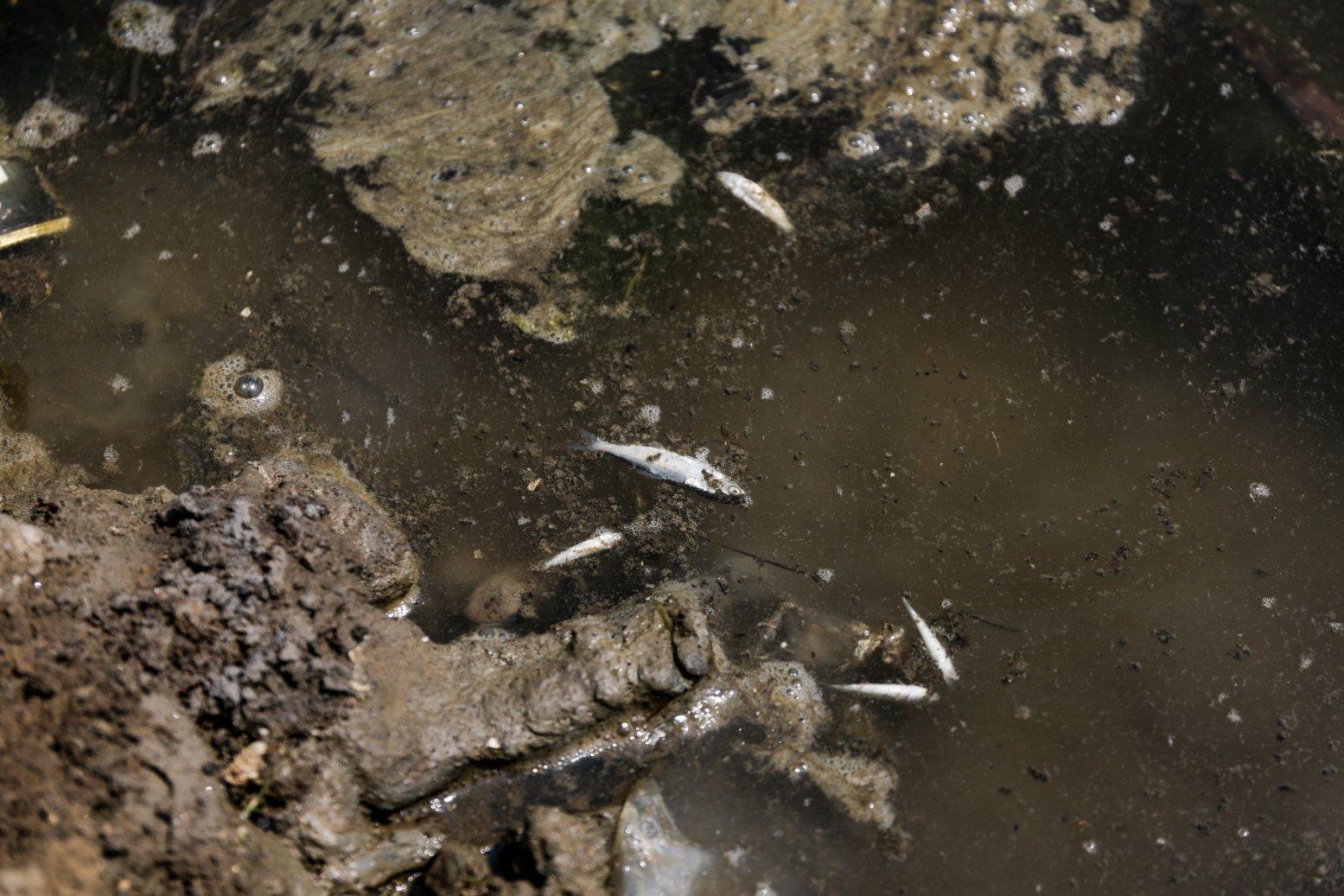Tampak ikan mati karena efek limbah tumpahan minyak Oil Spill yang tercecer milik Pertamina di Tambak, Cemarajaya, Karawang, Jawa Barat, Jumat (24/7/2019). Pasir yang tercemar minyak tersebut dikumpulkan dan akan dipindahkan ke pabrik penyimpanan limbah B3 (Bahan Berbahaya dan Beracun) untuk dimusnahkan.