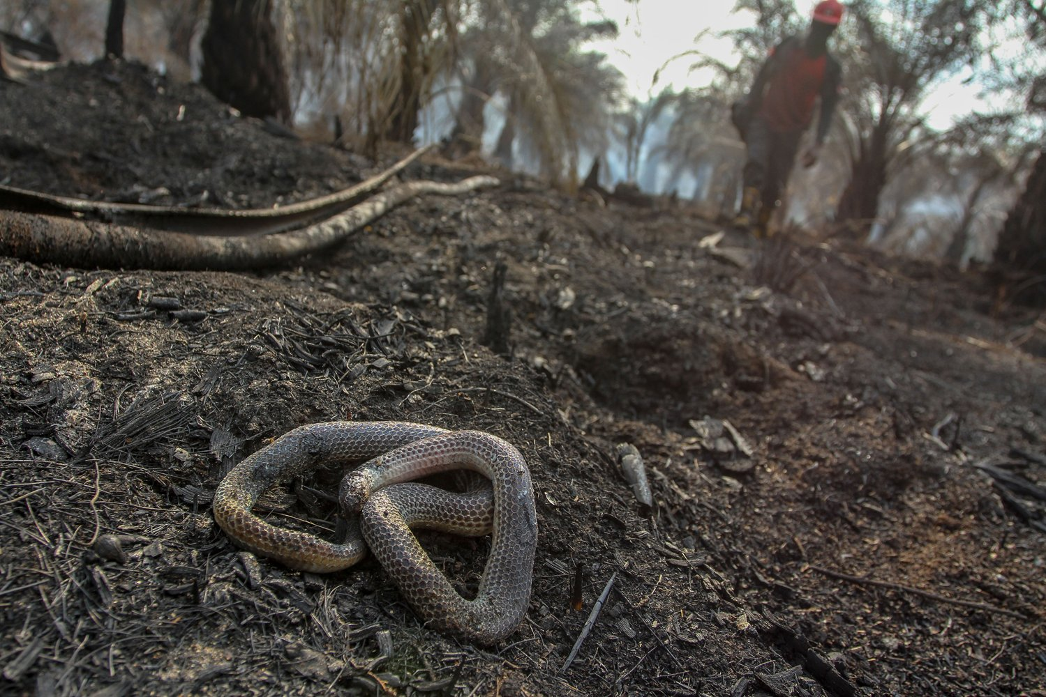 Seekor ular ditemukan mati di lokasi kebakaran lahan gambut di perkebunan sawit milik warga di Kecamatan Rumbai, Pekanbaru, Riau, Rabu (4/9/2019).