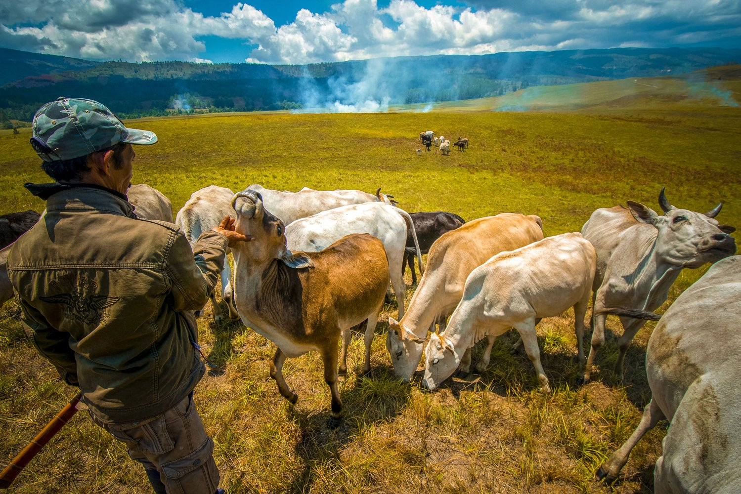 Seorang penggembala mendekati hewan ternaknya di peternakan leluhur di Desa Winowanga, Lore Timur, Poso, Sulawesi Tengah. Meski dilepasliarkan, namun setiap penggembala dapat mendekati ternak itu dengan meneriakkan kata \