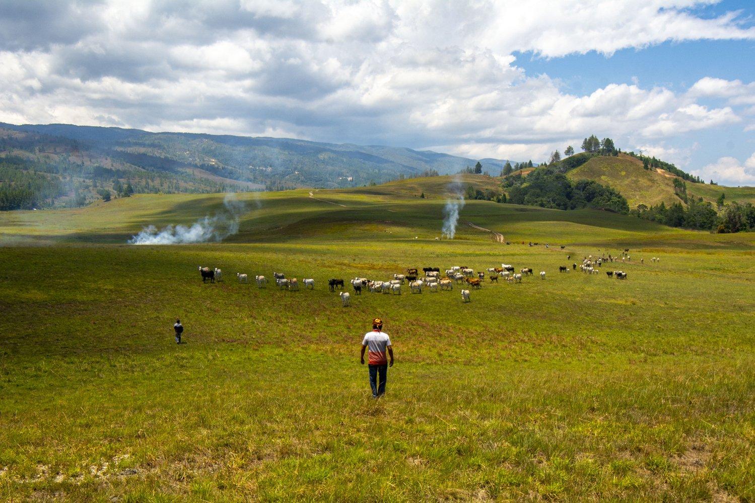 Suasana peternakan leluhur seluas 2.500 hektare di Desa Winowanga, Lore Timur, Poso, Sulawesi Tengah.
