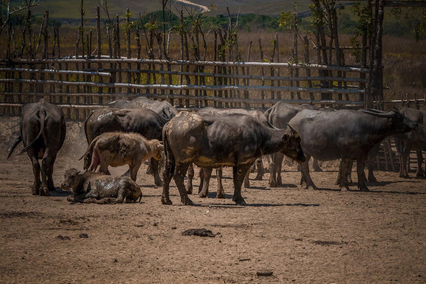 Persoalan bibit atau anakan kerbau dan sapi sering menjadi ganjalan utama. Angka fertilitas atau kelahiran hewan ternak di peternakan itu terbilang sangat rendah.