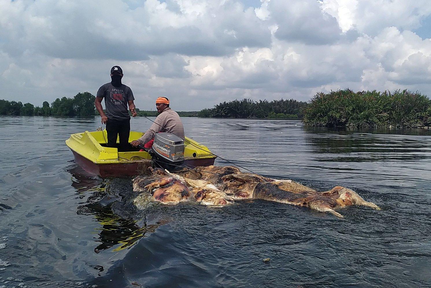 Warga membawa bangkai babi yang dibuang pemiliknya di Danau Siombak Marelan, Medan, Sumatera Utara, Senin (11/11/2019)