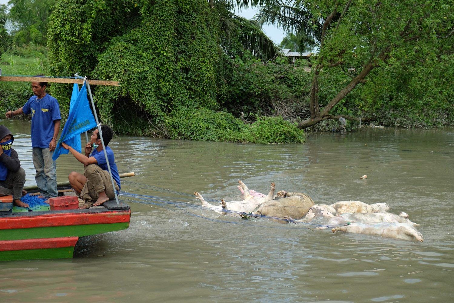 Petugas gabungan menyeret bangkai babi mengunakan perahu di aliran Sungai Bederah, untuk dikubur, di Kelurahan Terjun, Medan, Sumatera Utara, Selasa (12/11/2019).