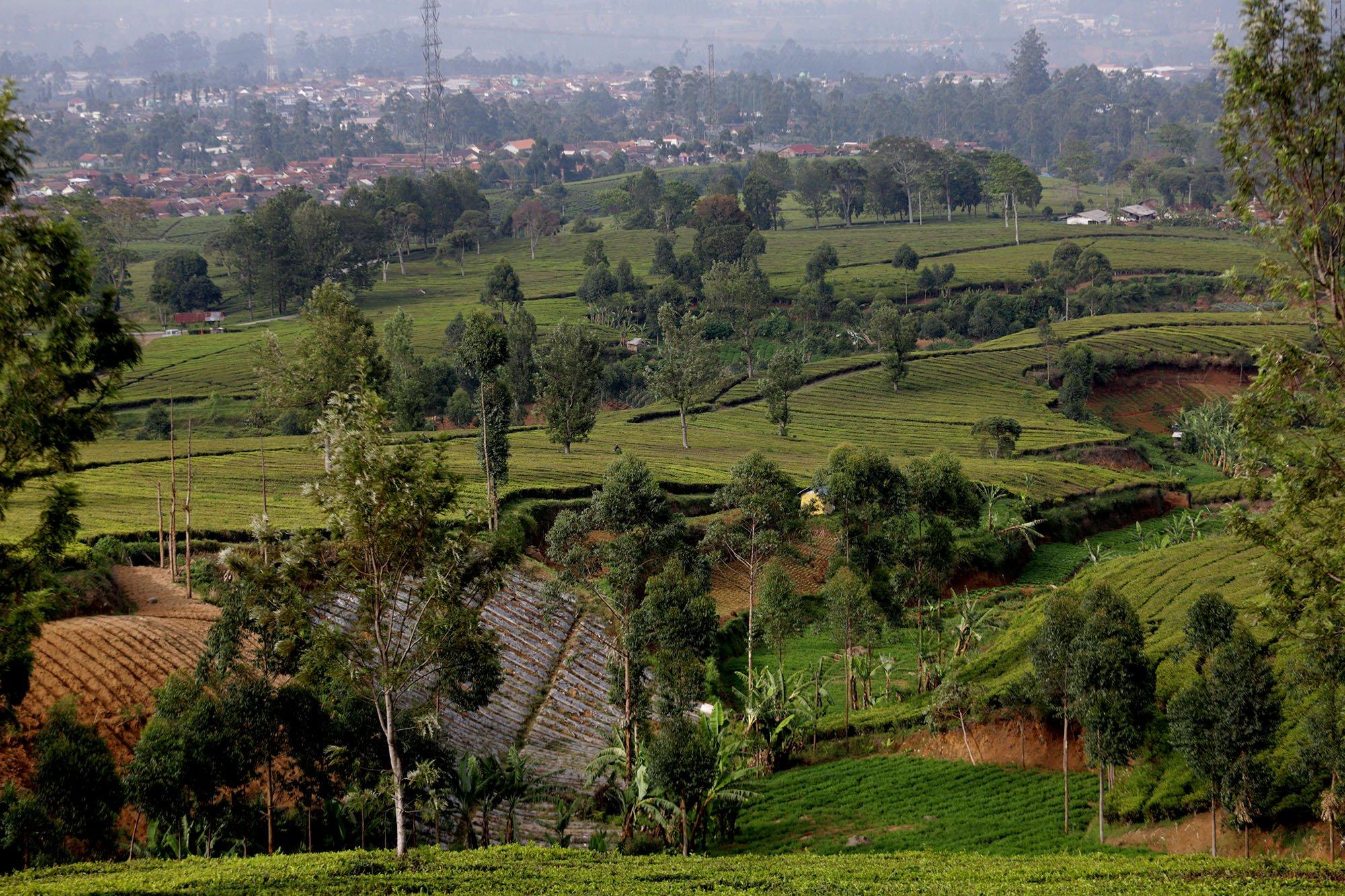Suasana perkebunan teh dan kopi di pegunungan Malabar, Bandung, Jawa Barat (15/11/2019).