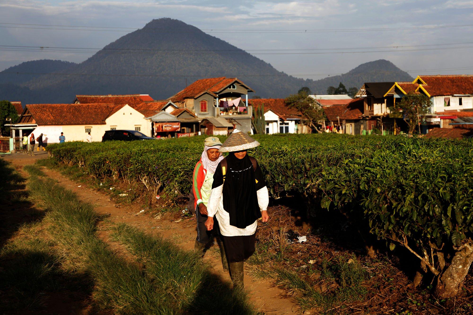 Sejak matahari terbit, para petani bergegas menuju kebun kopi di kawasan pegunungan Malabar, Bandung, Jawa Barat (15/11/2019).