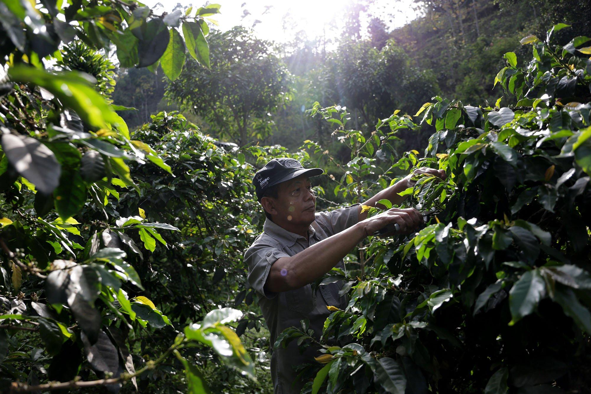 \r\nSlamet Prayoga pemilik Malabar Mountain Coffee melihat kondisi biji kopi di kebunnya, Malabar, Bandung, Jawa Barat (15/11/2019).