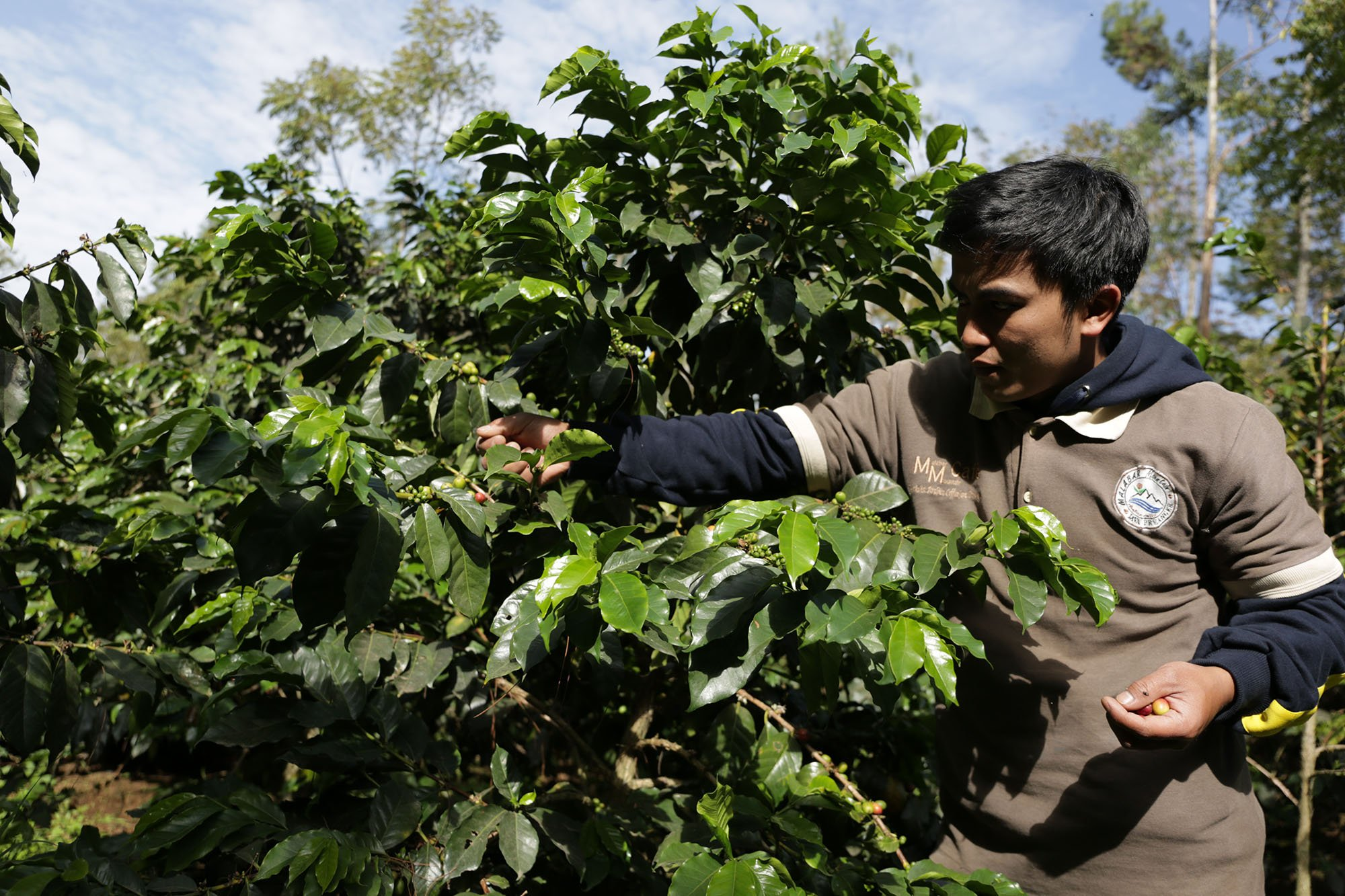 Petani Malabar Mountain Coffee memetik biji kopi yang benar-benar matang di Bandung, Jawa Barat (15/11/2019). Hanya biji kopi yang matang menghasilkan kopi terbaik.
