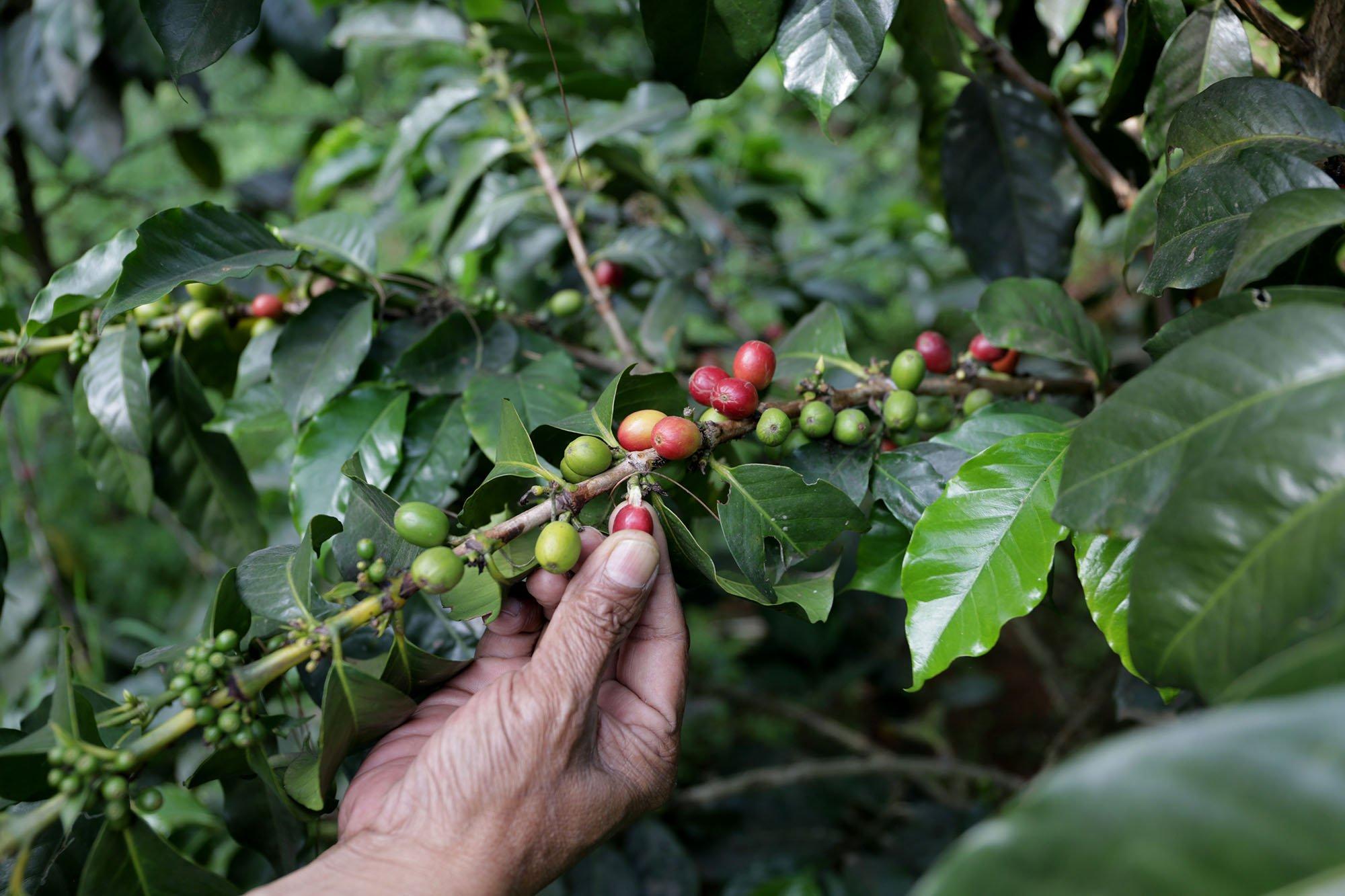 Petani dari perkebunan Malabar Mountain Coffee memetik biji kopi yang sudah matang atau cherry di pegunungan Malabar, Bandung, Jawa Barat (15/11/2019).