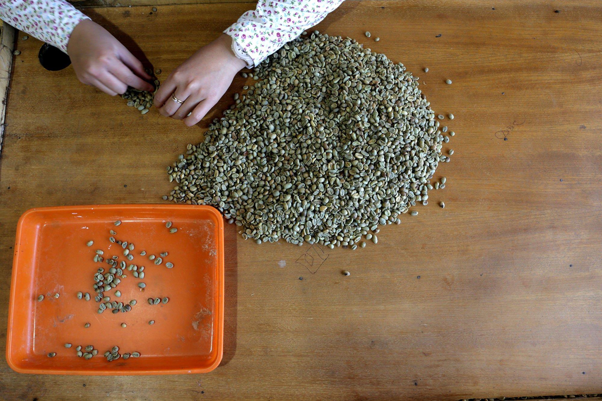 Proses penyortiran biji kopi dilakukan manual di Malabar Mpuntain Coffee, Bandung, Jawa Barat (15/11/2019).