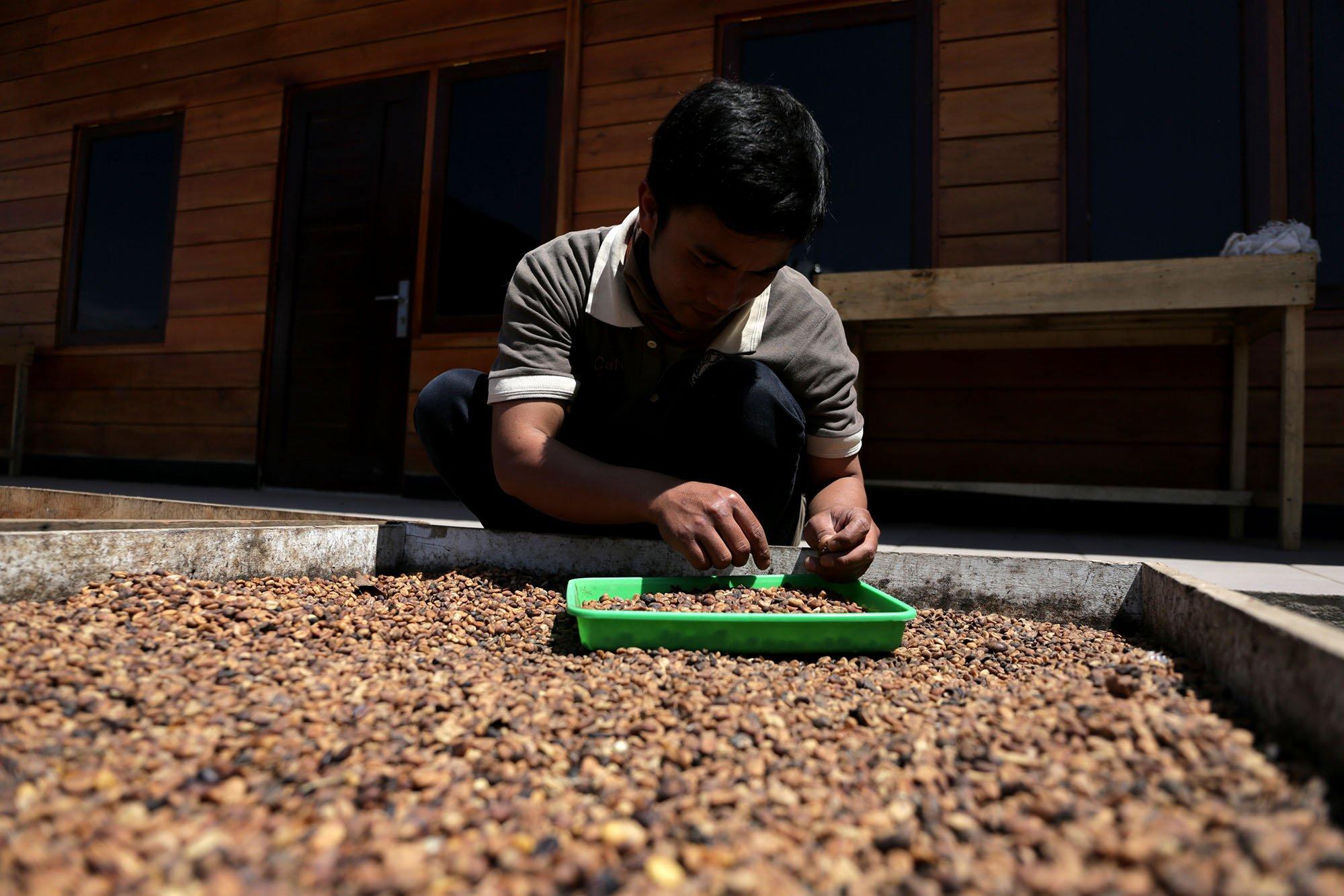 Pekerja Mountain Malabar Coffee memilih dan menyortir biji kopi yang berkualitas baik di pegunungan Malabar, Bandung, Jawa Barat (15/11/2019).