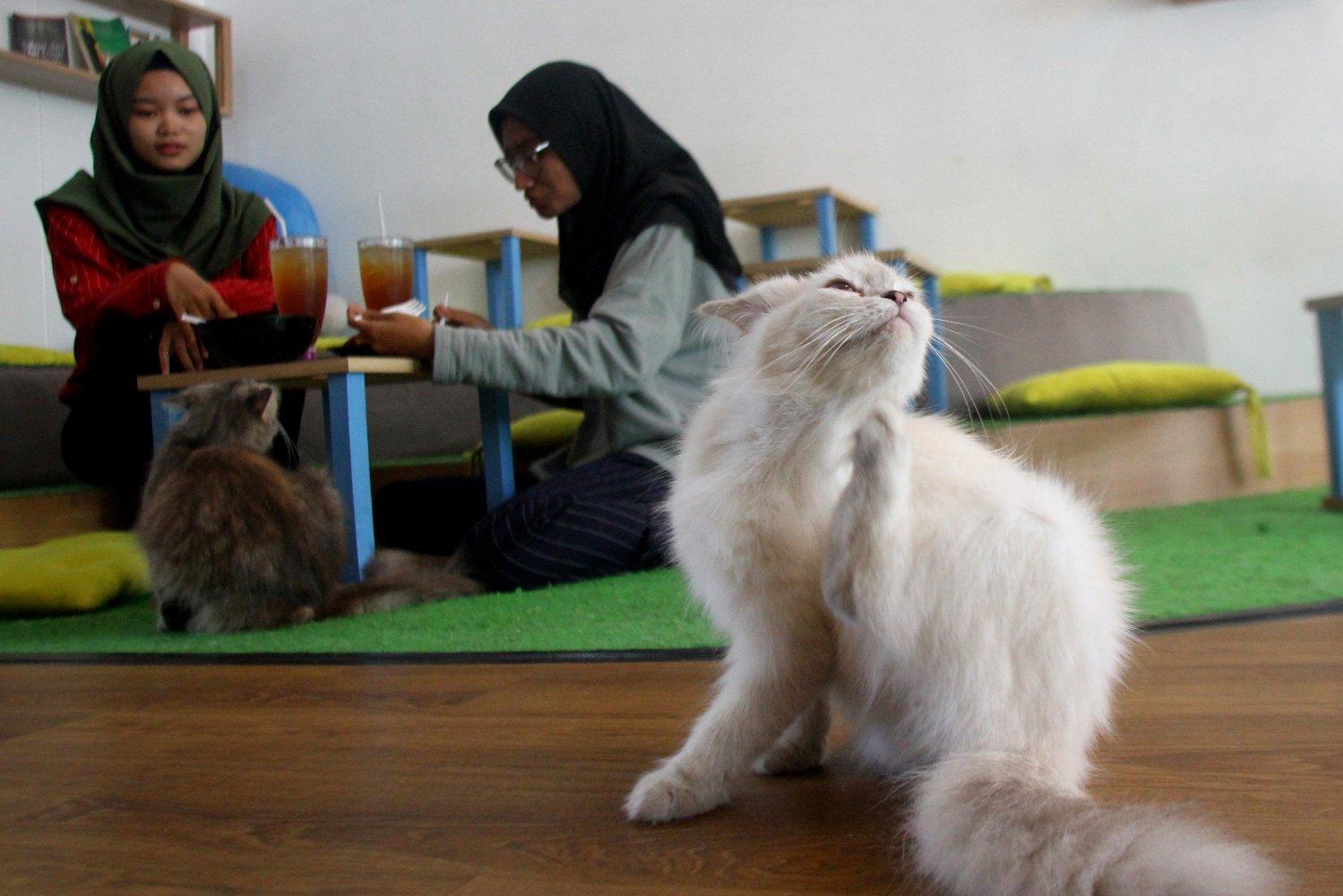 Pengunjung bermain dengan kucing di Cafe Kucing Neko-neko, Malang, Jawa Timur, Selasa (7/1/2020). Pemilik bisnis usaha cafe tersebut sengaja menghadirkan puluhan kucing sebagai daya tarik bagi para pecinta kucing untuk datang berkunjung.