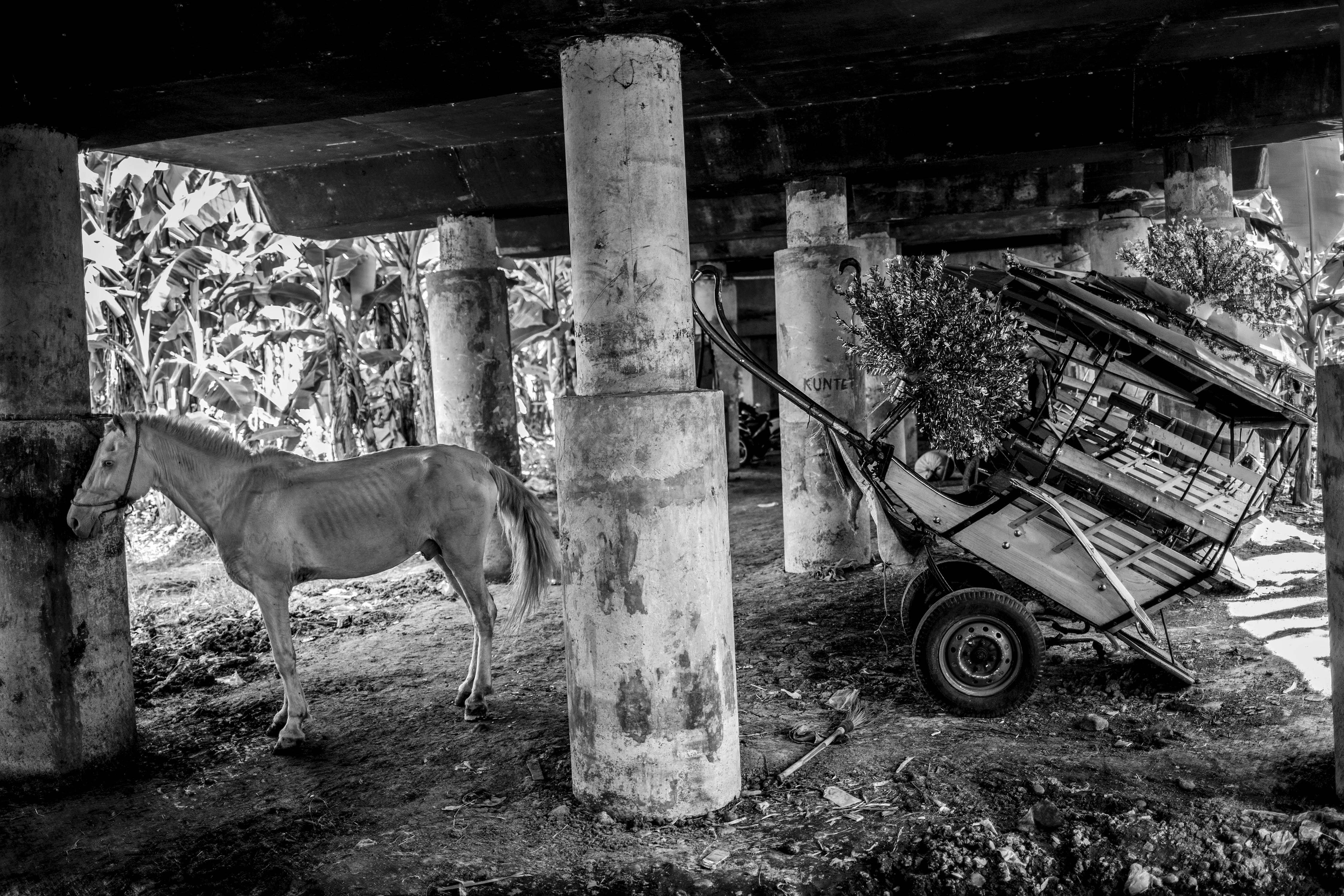 Kuda delma untuk wisatawan di kandangkan di bawah kolong jalan tol di Kawasan Sungai Bambu, Jakarta Utara, Selasa (12/5/2020). Penarik delman yang beroperasi melayani wisatawan di seputaran Kemayoran dan Monas tersebut, kini berhenti beroperasi akibat penerapan Pembatasan Sosial Bersekala Besar (PSBB) di wilayah Kota Jakarta dampak dari pandemi Covid-19 sehingga tidak ada penghasilan.