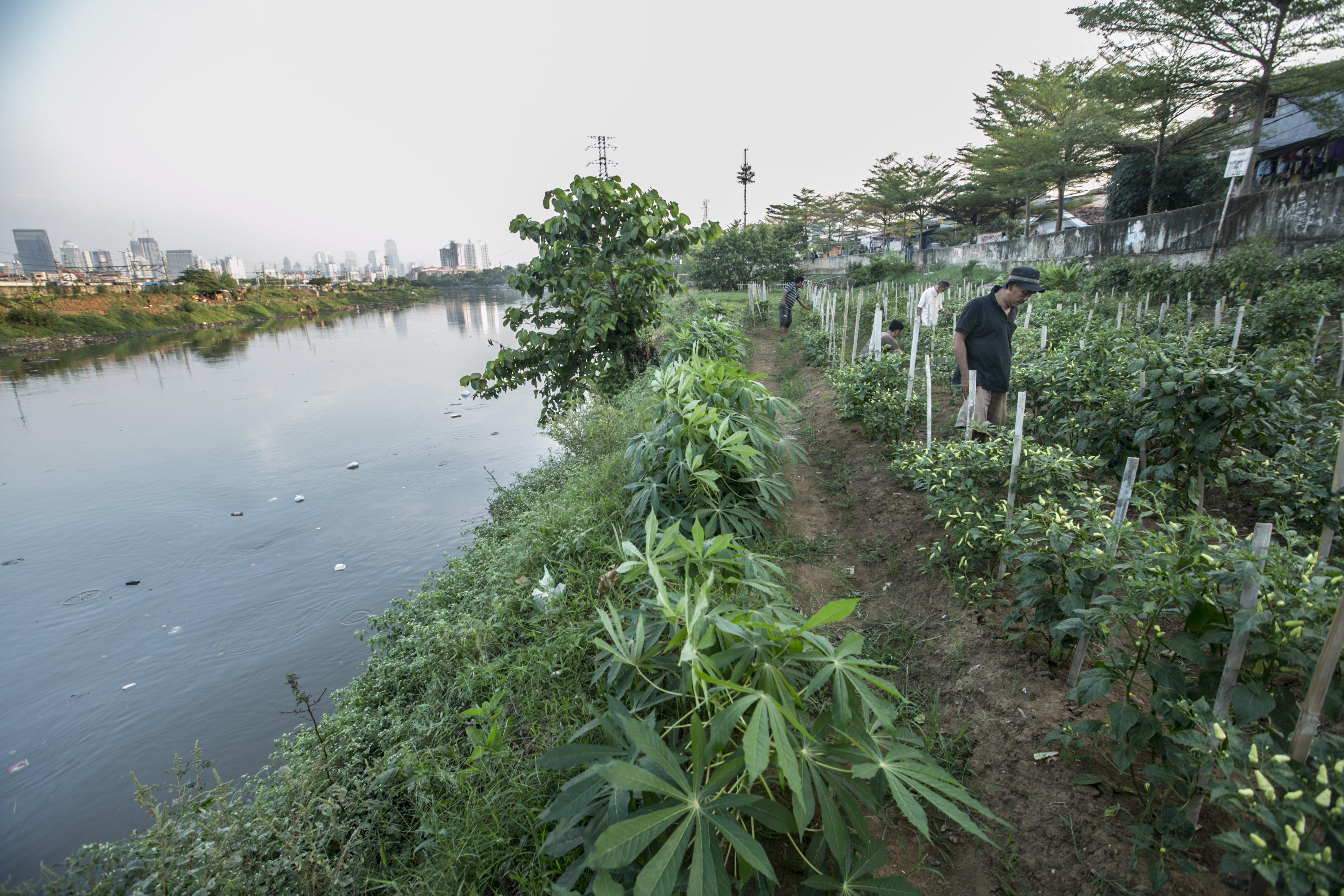 Andi (50) merawat tanaman di bantaran Sungai Ciliwung, Petamburan, Jakarta Pusat, Minggu (12/7/2020). Selama enam tahun ia memanfaatkan lahan bantaran kali Ciliwung untuk bertani bersama kelompok Mandiri Indah Tani sebagai upaya memenuhi kebutuhan hidup diatas keterbatasan lahan dan kemampuan.