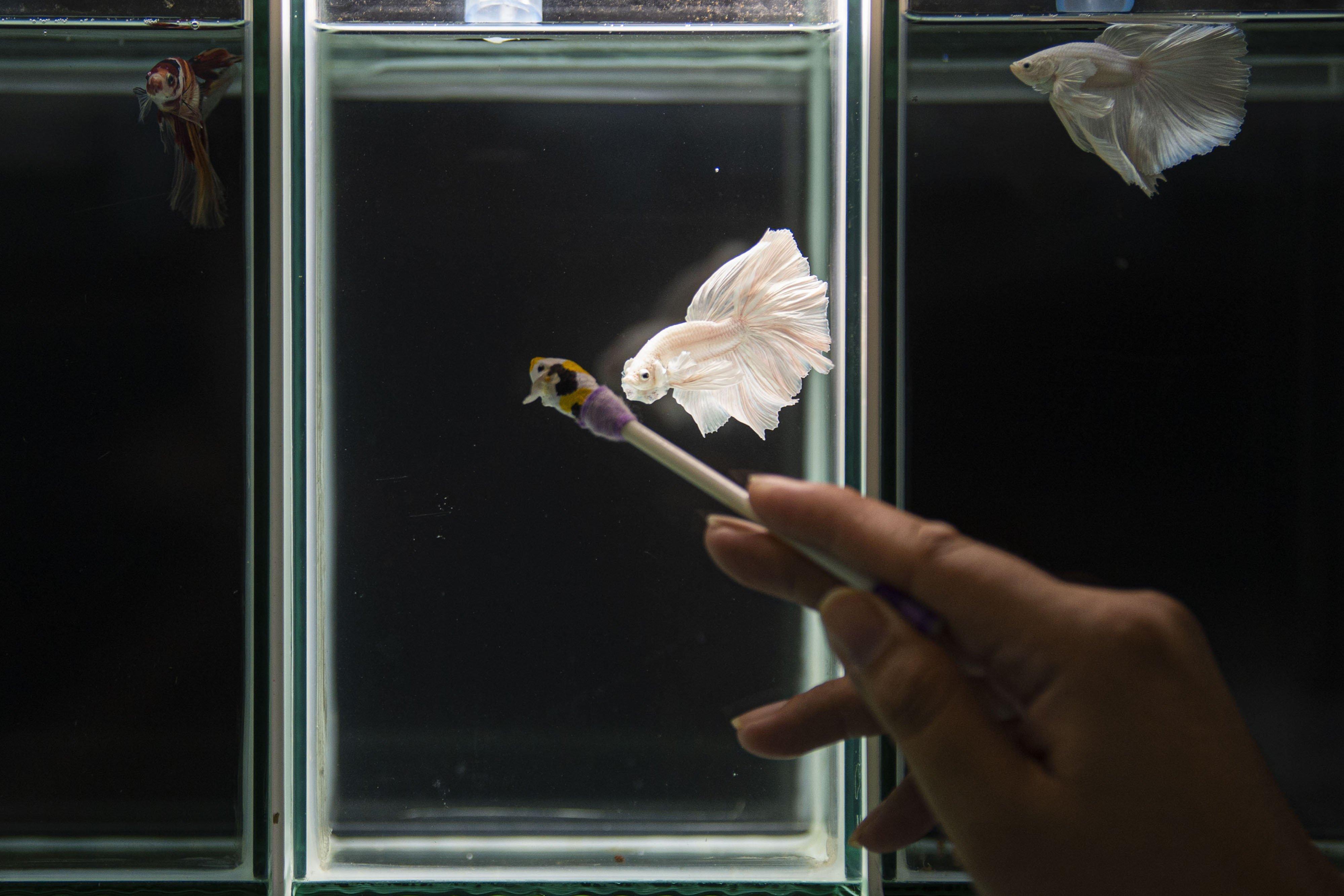 Seekor ikan cupang jenis halfmoon dilatih untuk disiapkan mengikuti kontes di aquarium milik peternak Tiano Morello di Bogor, Jawa Barat.