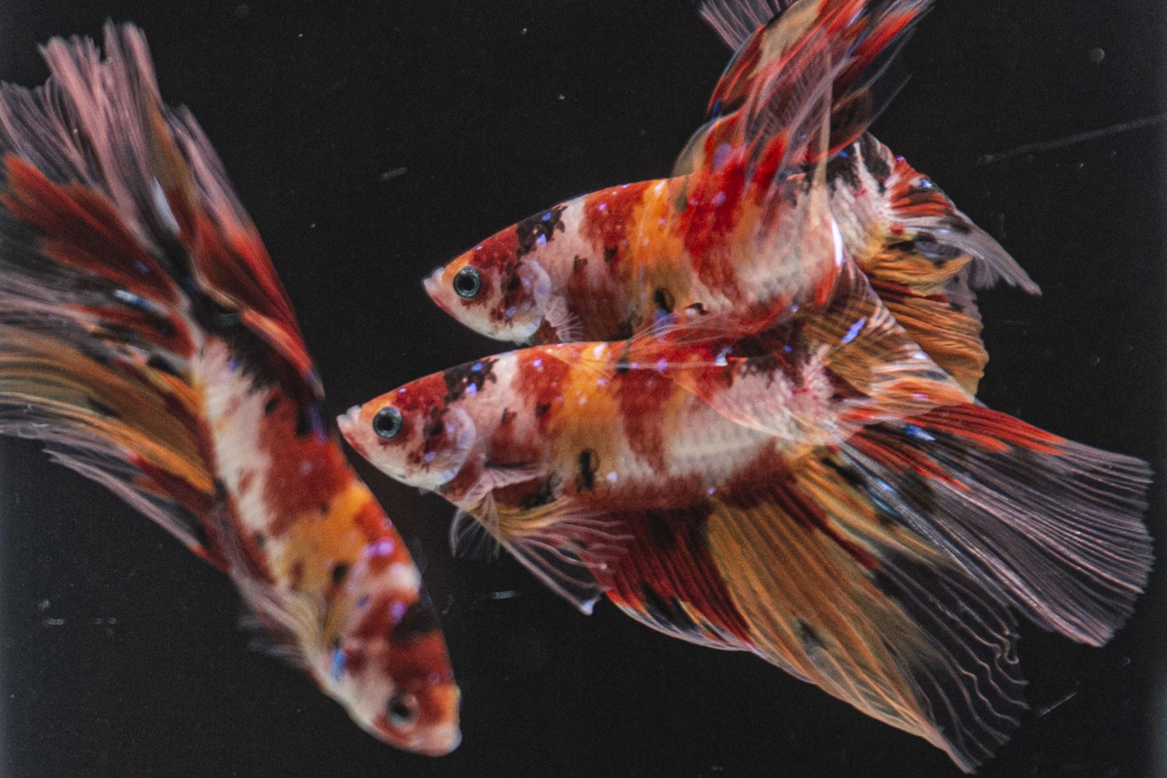 Foto multiple eksposur seekor ikan cupang jenis halfmoon berenang di aquarium milik peternak Tiano Morello di Bogor.