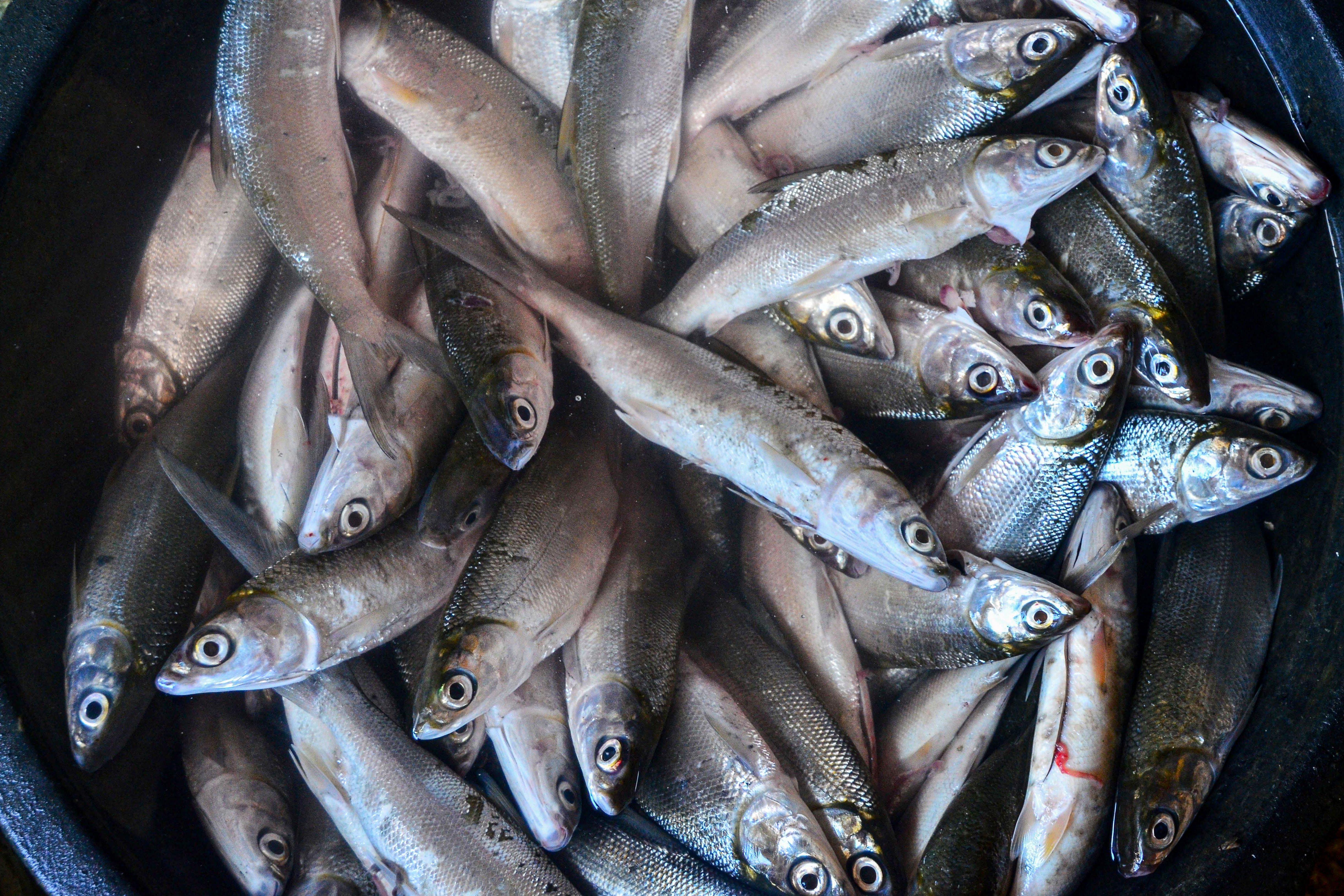 Ikan bandeng sebelum diolah di Desa Dukutalit, Juwana, Pati, Jawa Tengah.