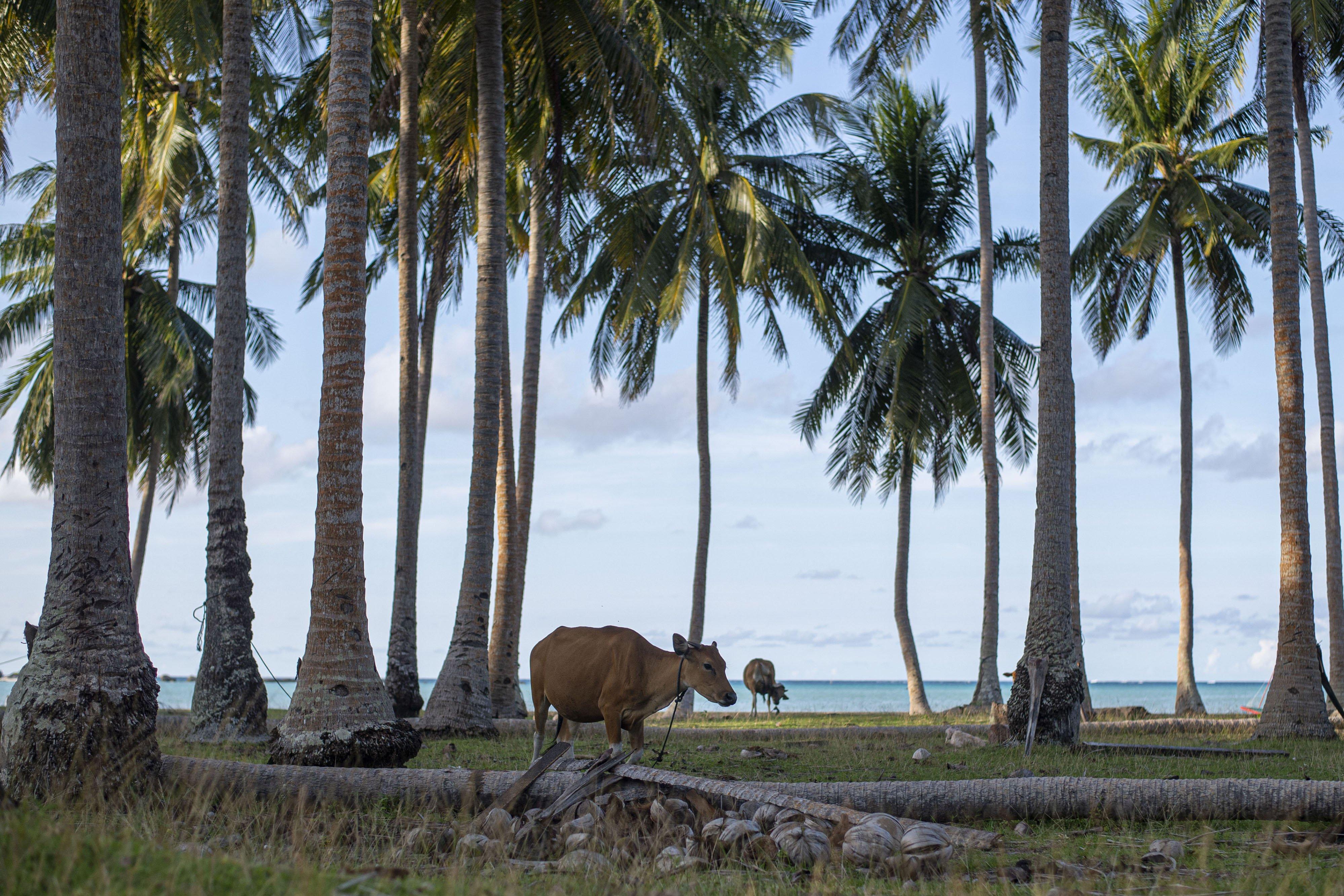 Sapi ternak warga mencari makan rumput di antara pepohonan kelapa di Pulau Laut, Kabupaten Natuna, Kepulauan Riau.