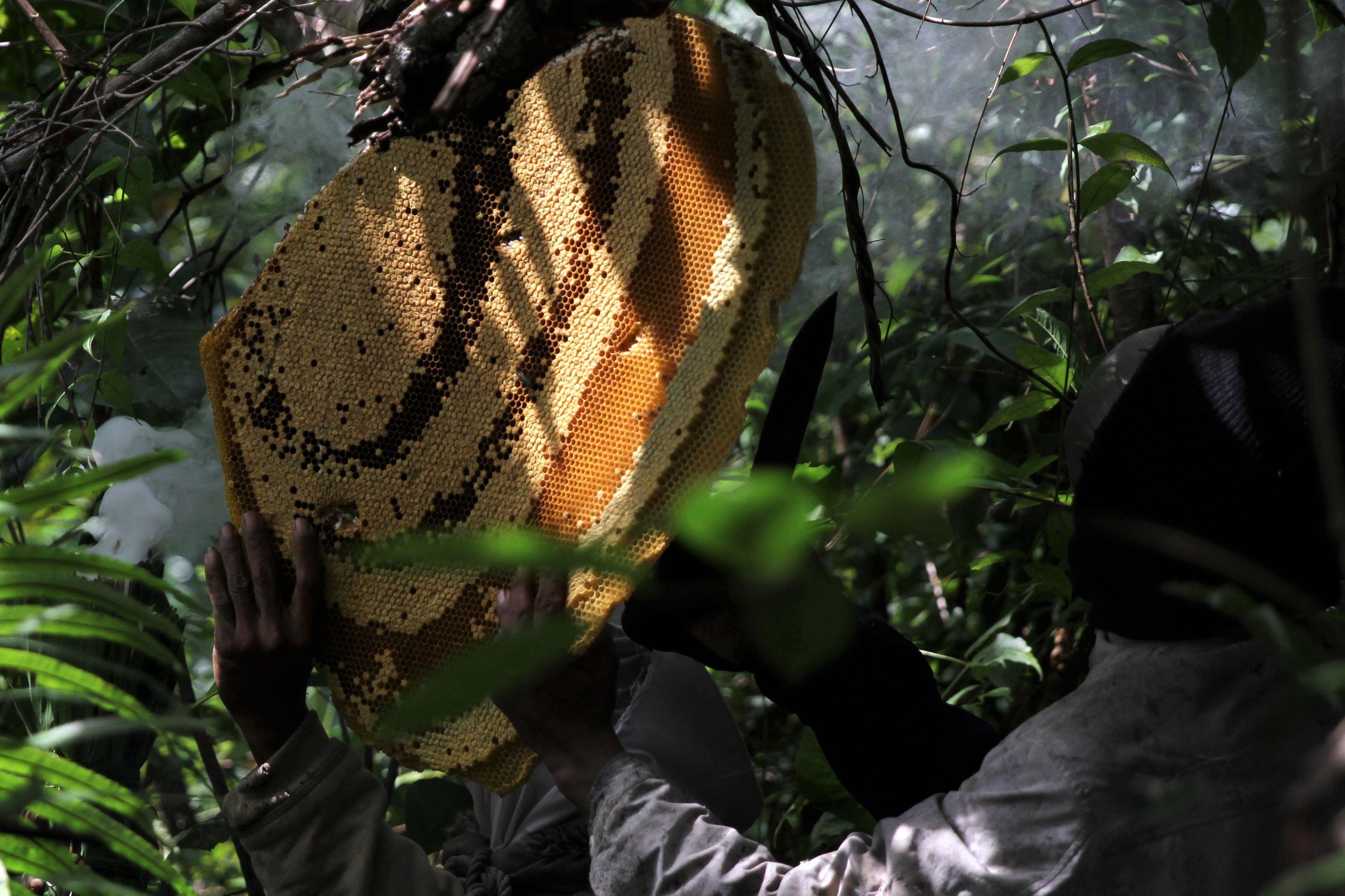 Pemburu lebah madu mengambil sarang lebah beisi sari madu di kawasan Gunung Landono di Desa Landono 2, Kecamatan Landono, Konawe Selatan, Sulawesi Tenggara. \r\n