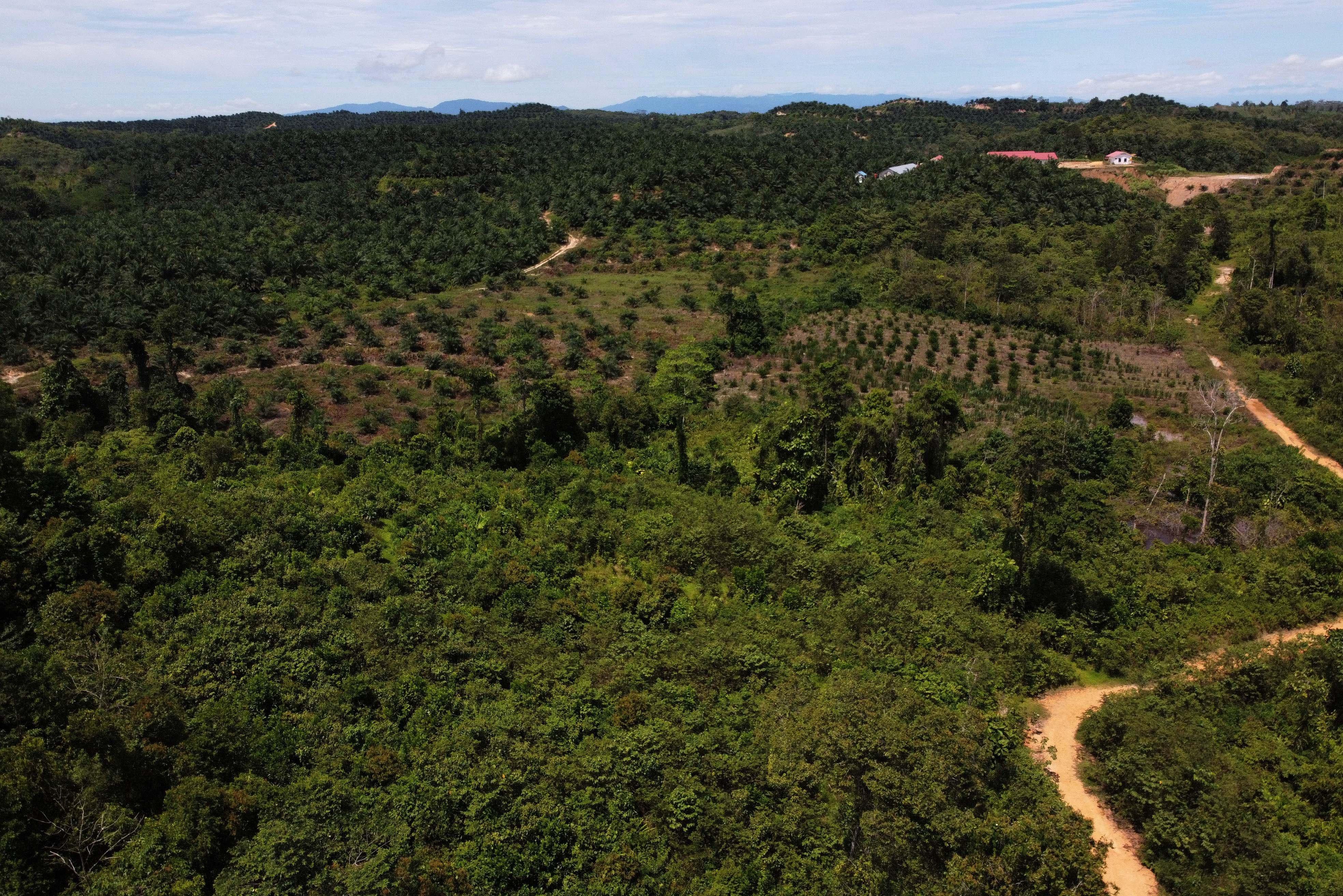 Kondisi hutan di sekitar kawasan Gunung Landono yang telah ditanami kelapa sawit oleh perusahaan luar di Kecamatan Landono, Konawe Selatan, Sulawesi Tenggara.