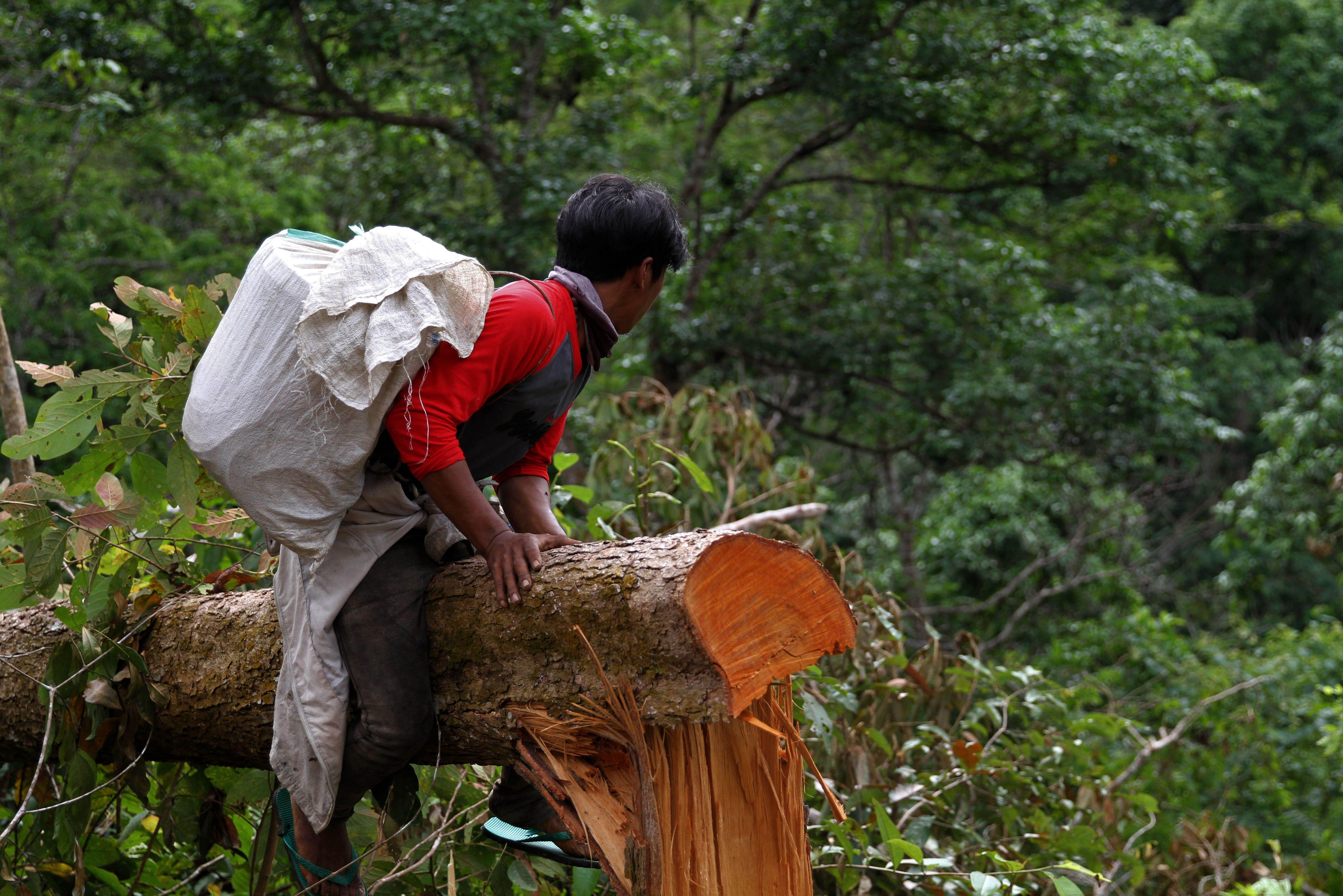 Bartono berada diatas pohon yang tumbang lengkap dengan peralatan dan mengintai lebah yang terbang agar mudah mendapatkan sarang lebahnya di Gunung Landono, di Desa Landono 2, Kecamatan Landono, Konawe Selatan, Sulawesi Tenggara.