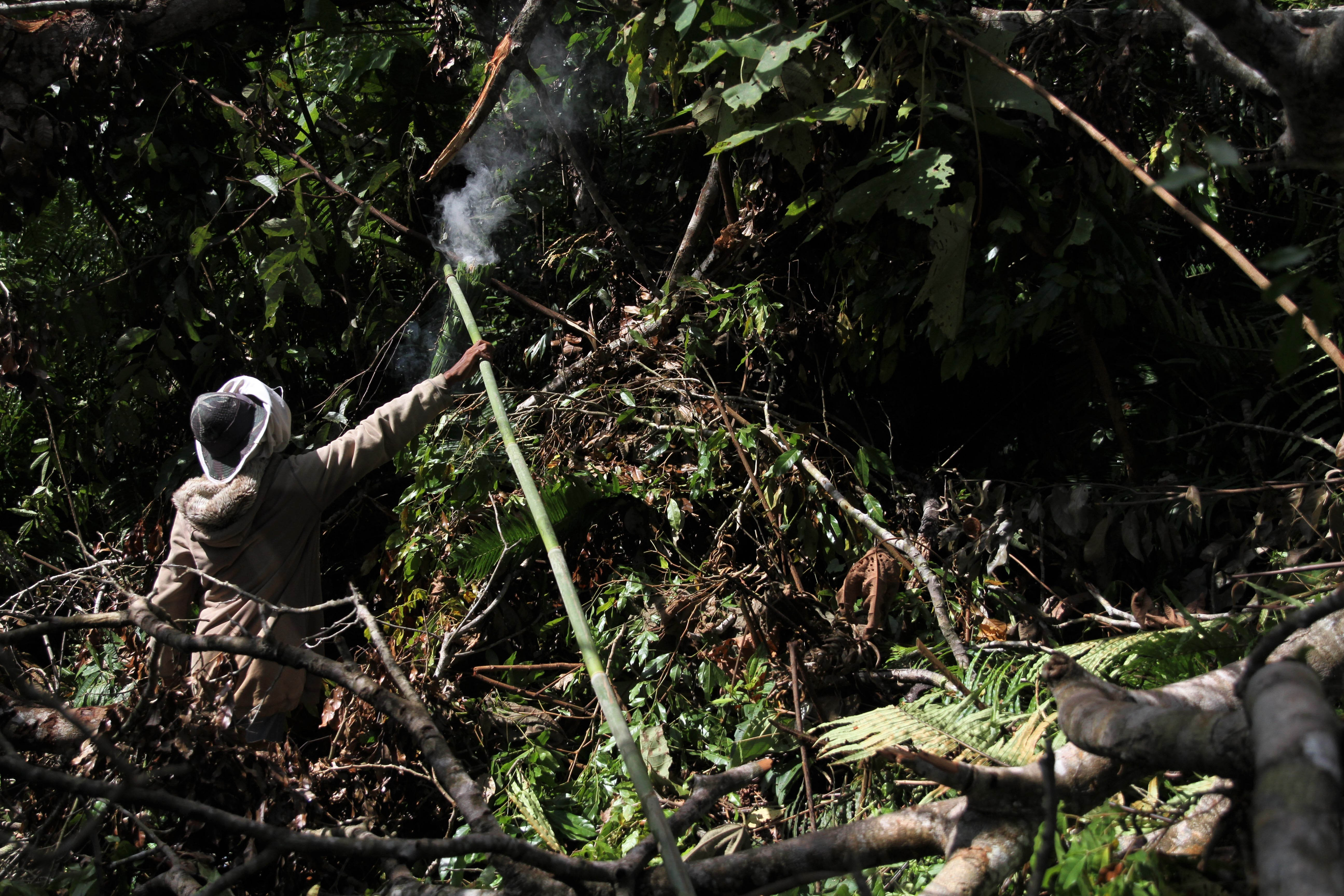 \r\nTriono mengasapi daerah sekitar sarang lebah madu gong di kawasan Gunung Landono di Desa Landono 2, Kecamatan Landono, Konawe Selatan, Sulawesi Tenggara.