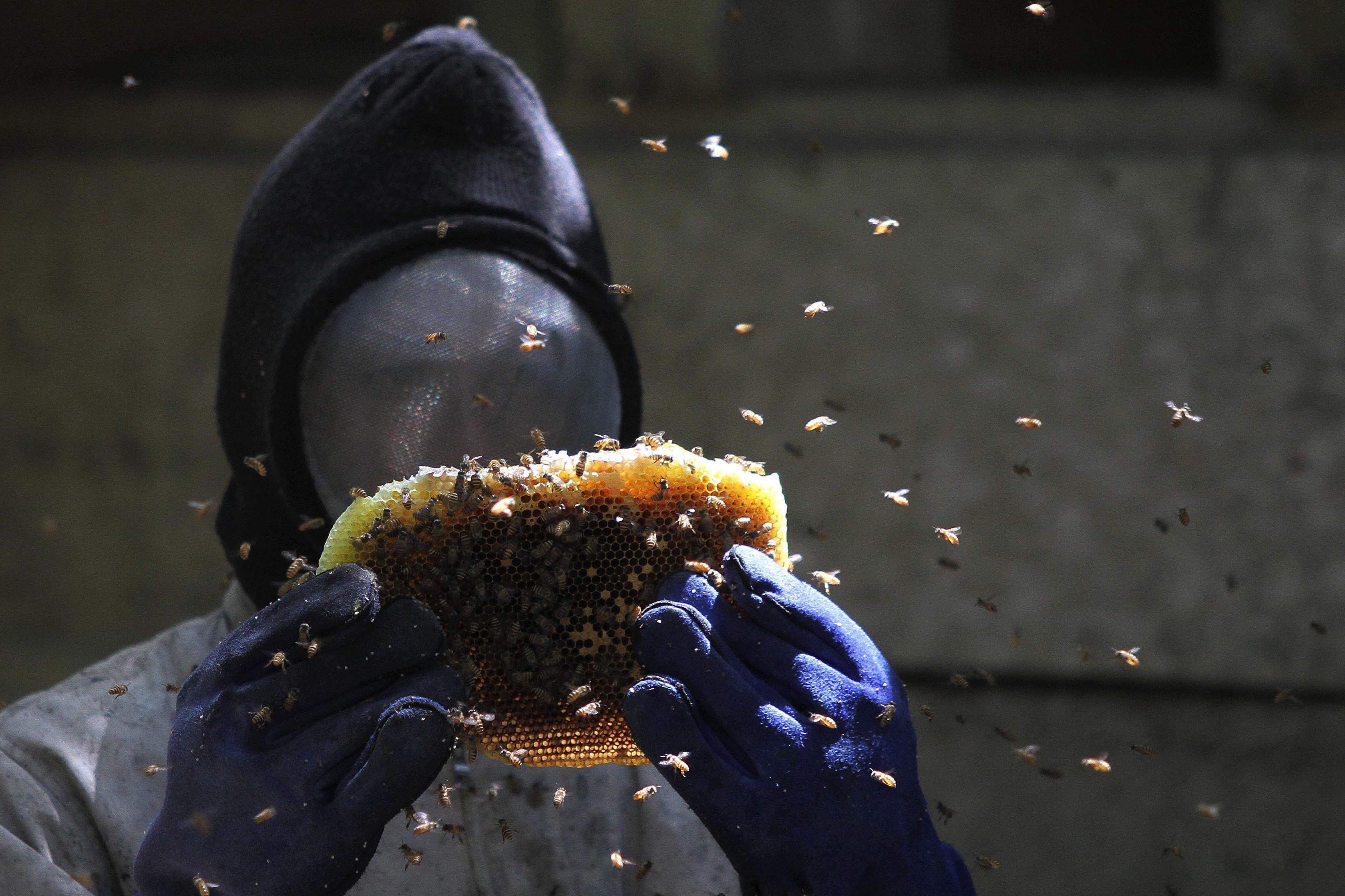 Petani memanen sari madu dari lebah Apis indica di Desa Landono 2, Kecamatan Landono, Konawe Selatan, Sulawesi Tenggara.
