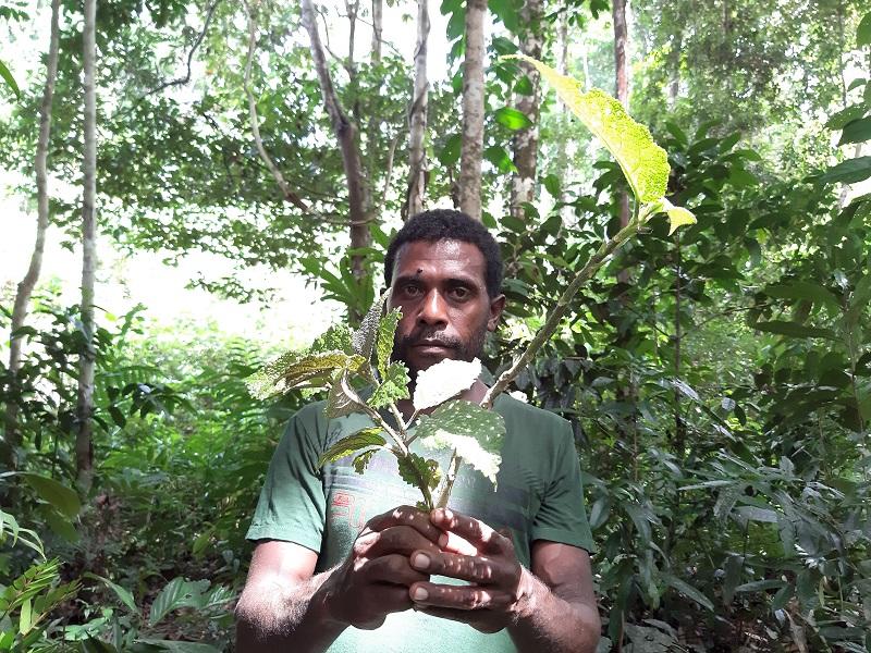 Seorang Pria sedang memegang daun gatal, pengobatan tradisional khas Papua