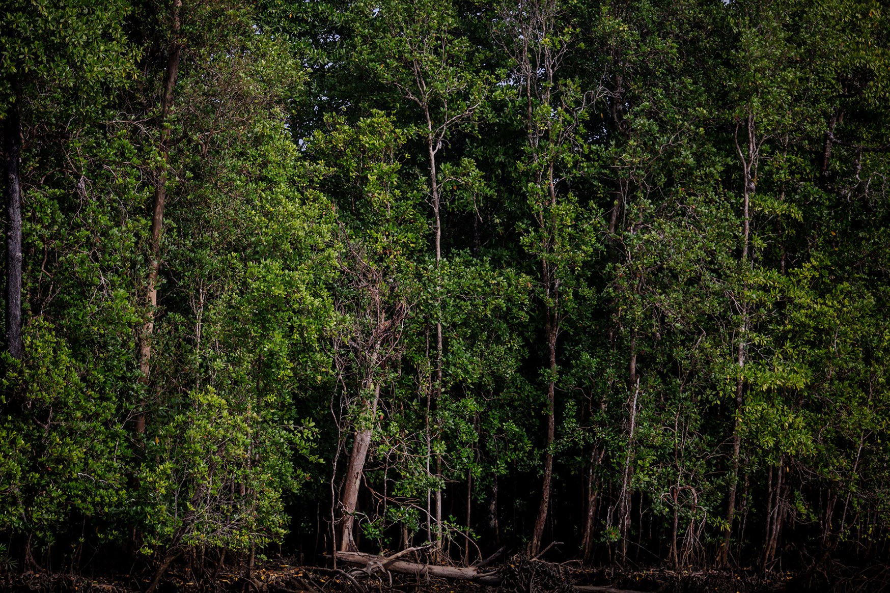 Hutan bakau di wilayah hutan adat Suku Moi di Distrik Segun, Kabupaten Sorong, Papua Barat, Selasa, (21/9/2021).\r\nSeluas 15.000 hektare hutan adat masyarakat terancam tergusur dengan indutri perkebunan kelapa sawit.