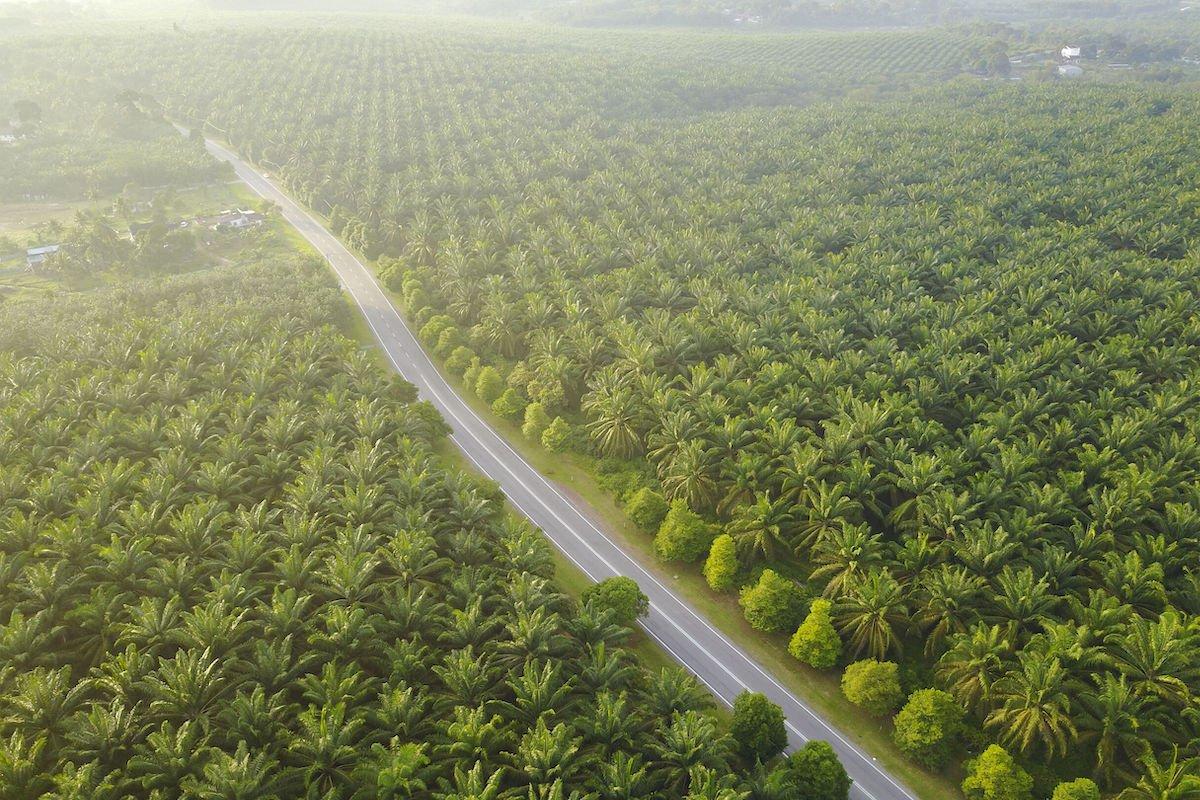 moratorium sawit, kelapa sawit, lahan sawit, perkebunan, CPO, produksi CPO
