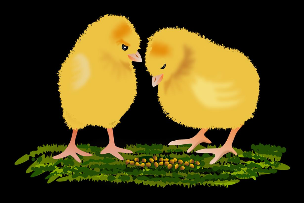 Nasib Tragis Peternak Unggas, Diimpit Harga Jagung dan Telur