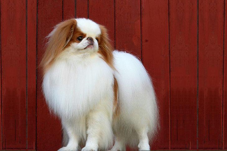 Anjing Japanese Chin