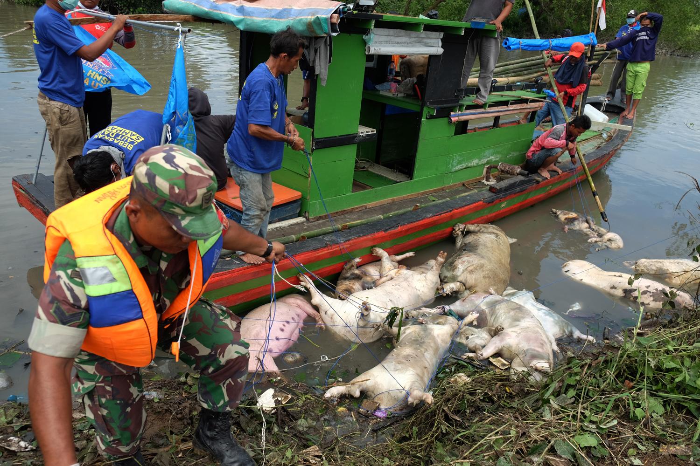 Evakuasi Babi Mati di Medan