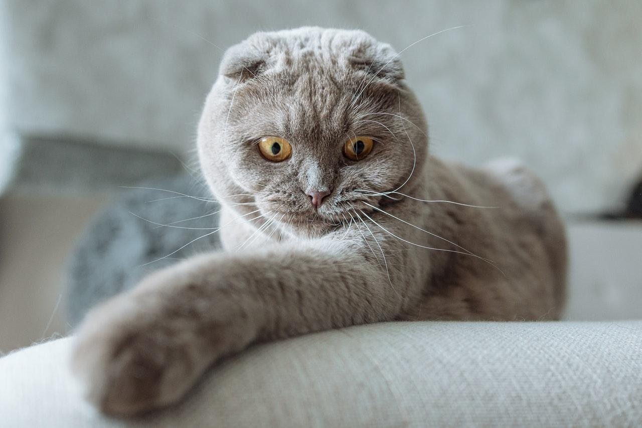 Kucing jenis Scottish Fold