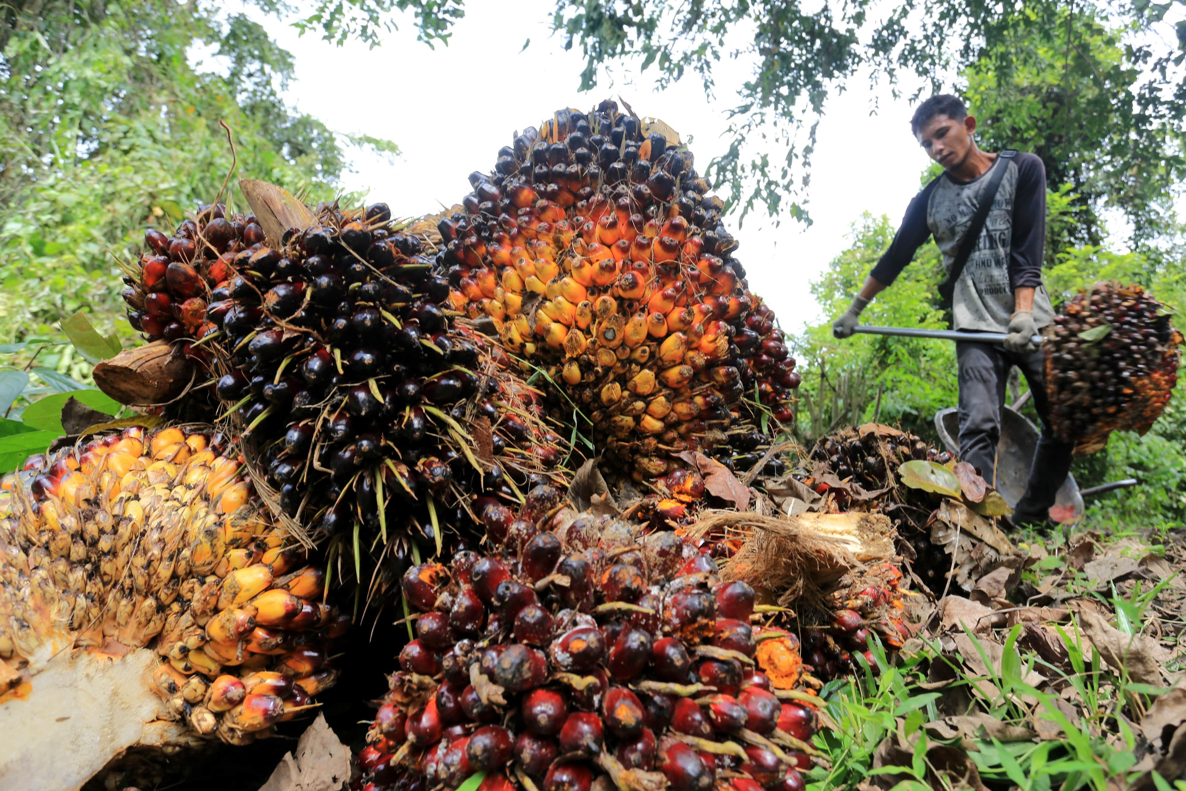 Pekerja mengangkut dan menata tandan buah segar kelapa sawit saat panen di Desa Jalin,, Aceh, Senin (23/8/2021).