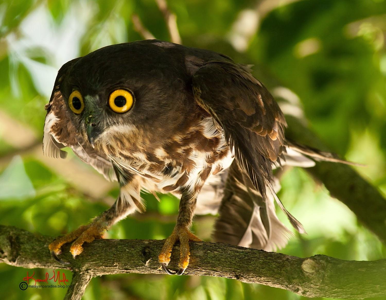 Gambar burung hantu Pungguk coklat