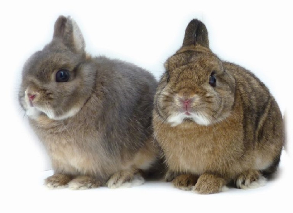 Kelinci netherland dwarf