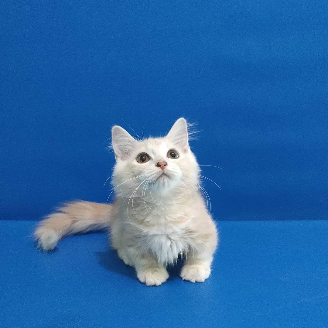 Kucing Munchkin (2)