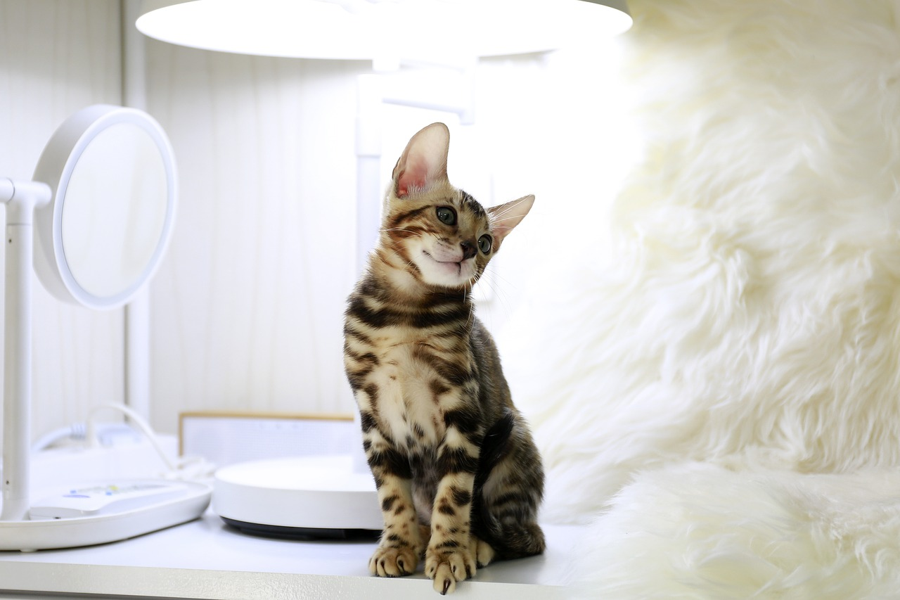 Kucing bengal (2)