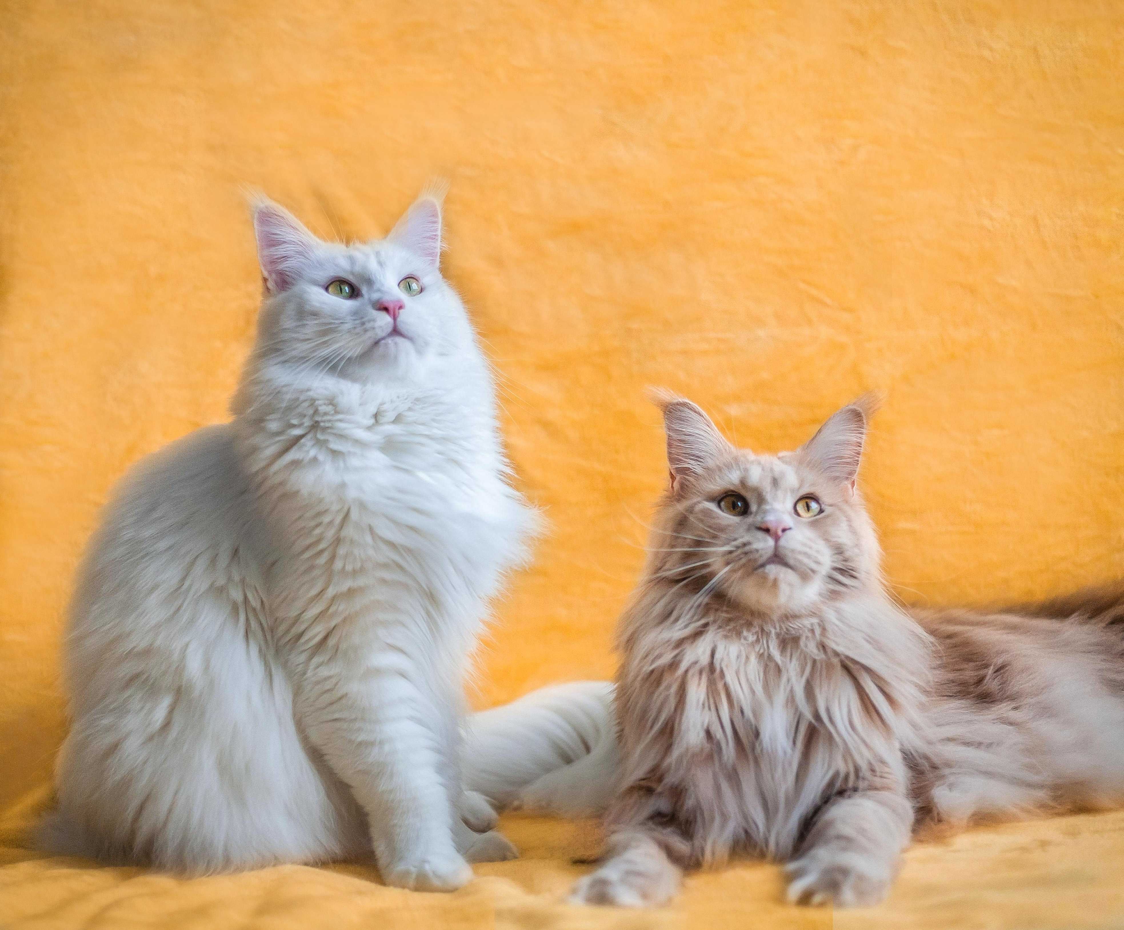 Ciri-ciri Kucing Maine Coon