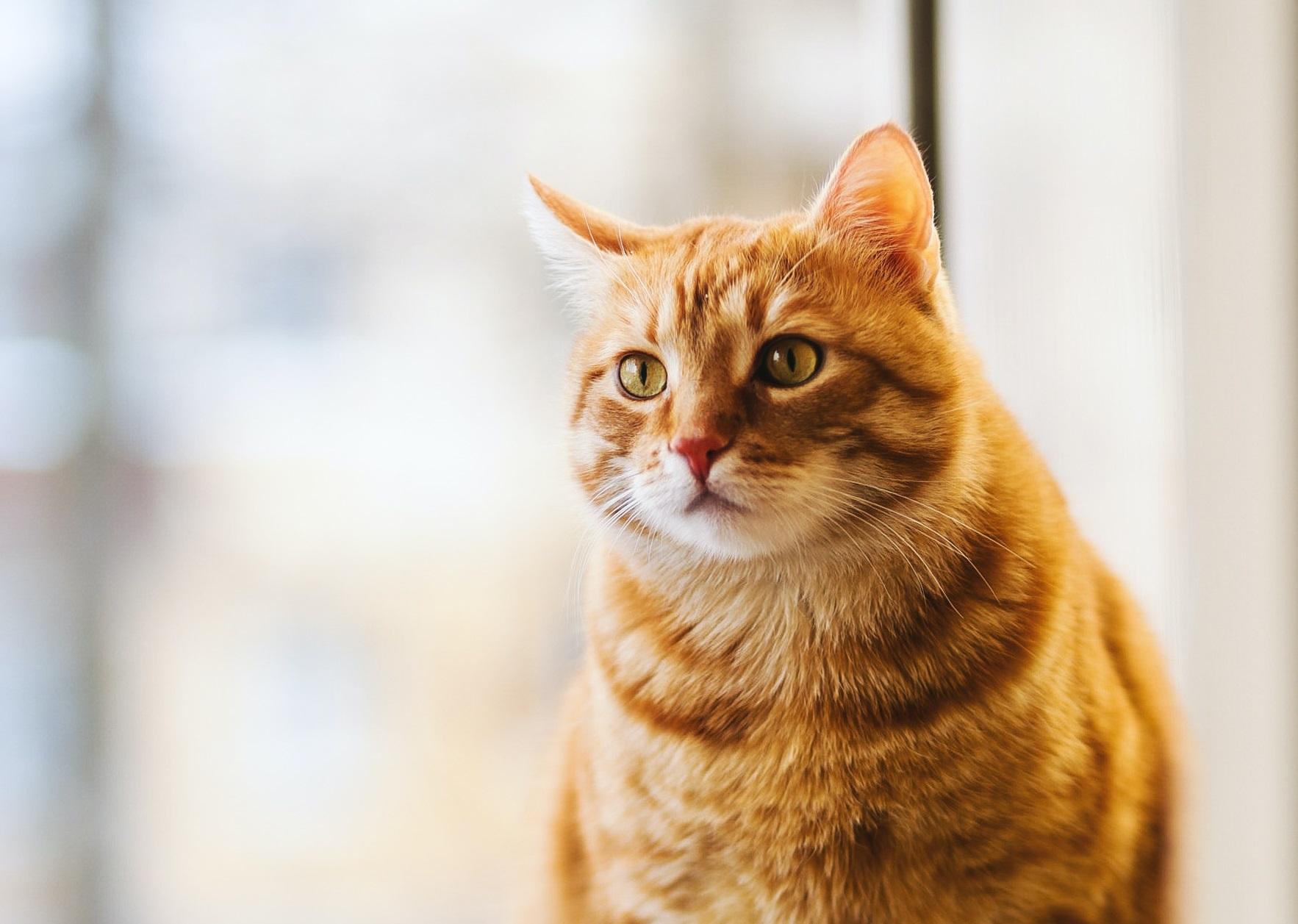 Kucing anggora domestik