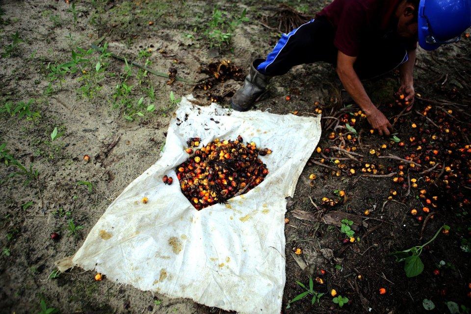 Petani memanen buah kelapa sawit di salah satu perkebunan kelapa sawit di Desa Delima Jaya, Kecamatan Kerinci, Kabupaten Siak, Riau.