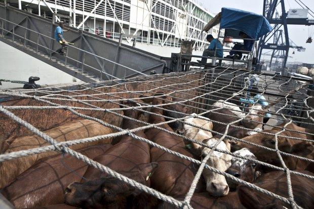Impor Sapi, Impor Daging Sapi, Data Impor Daging Sapi, Impor Daging Sapi 2020