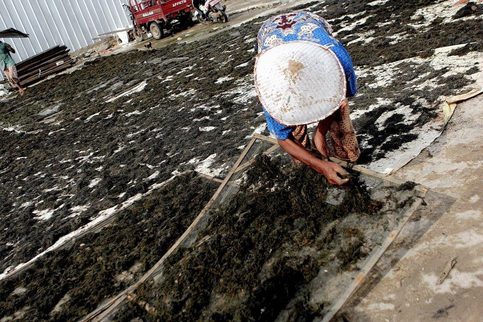 Pemerintah Kembangkan Industri Rumput Laut,