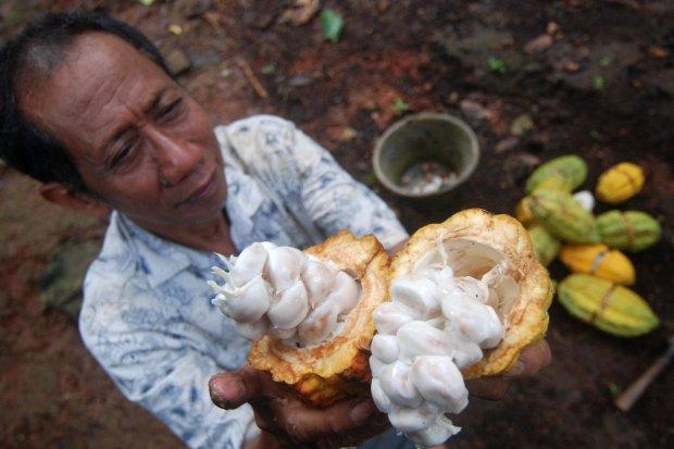 Petani Kakao