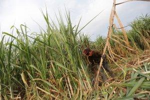 Lahan pertanian kebun tebu