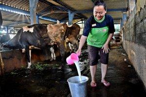 Peternak menuangkan susu sapi hasil perahan di kandang komunal Kelompok Tani Ternak Gondang Makmur, Sumogawe, Kabupaten Semarang, Jawa Tengah, Jumat (