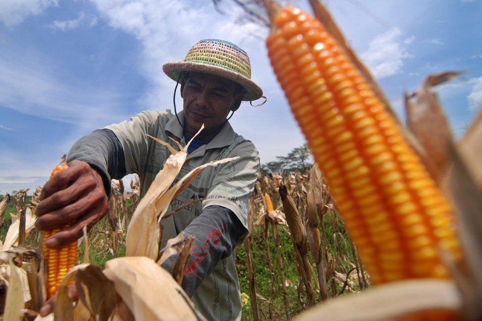 Petani memanen jagung di Kaliwungu, Kabupaten Semarang, Jawa Tengah, Minggu (18/12). Kementerian Pertanian memastikan mulai 2017 pemerintah sudah menutup impor jagung, khususnya untuk kebutuhan baku industri pakan ternak, karena sudah tercukupi dari produ