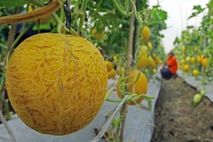 Melon lokal