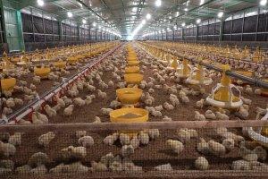 Peternakan Ayam